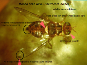 Riconoscere mosca olivo